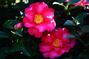 サザンカ・ヒノツカサの花の写真素材 [FYI03147177]