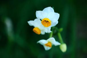 ニホンスイセンの花咲くの写真素材 [FYI03147180]