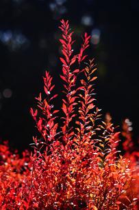 ベニバナユキヤナギの紅葉の写真素材 [FYI03147182]