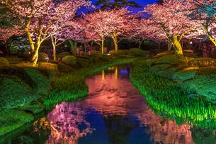 ライトアップされた兼六園の桜の写真素材 [FYI03147282]