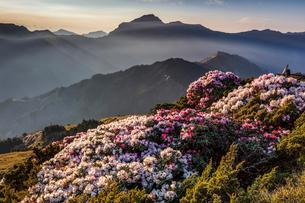 合歓山に咲くツツジの写真素材 [FYI03147301]