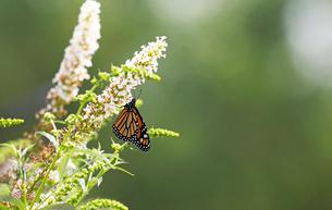 小さな白い花にとまって蜜を吸うオオカバマダラ蝶の風景の写真素材 [FYI03147449]