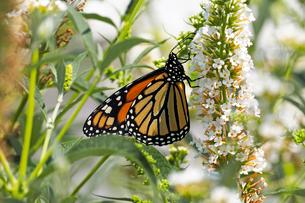 小さな白い花から蜜を吸うオオカバマダラ蝶のクロースアップ風景の写真素材 [FYI03147454]