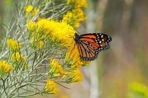 何世代かで毎年渡りをするといわれるオオカバマダラが黄色い花の蜜を吸っている風景の写真素材 [FYI03147508]
