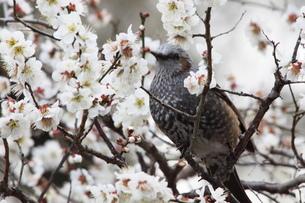 ヒヨドリと桜の写真素材 [FYI03147714]
