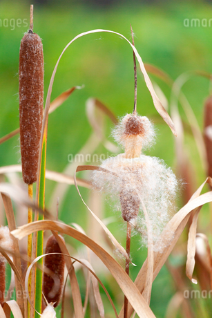 ガマ(蒲)の綿毛の写真素材 [FYI03147739]