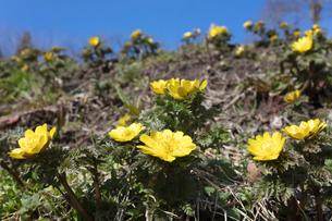 フクジュソウの花の写真素材 [FYI03147757]