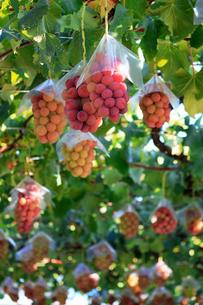 熟した大きな赤いブドウが生る山梨のブドウ畑の写真素材 [FYI03148142]