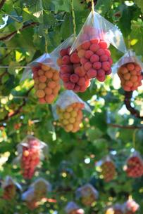 熟した大きな赤いブドウが生る山梨のブドウ畑の写真素材 [FYI03148143]