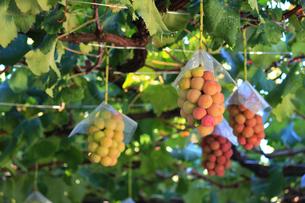 熟した大きな赤いブドウが生る山梨のブドウ畑の写真素材 [FYI03148147]