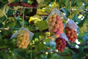 熟した大きな赤いブドウが生る山梨のブドウ畑の写真素材 [FYI03148151]