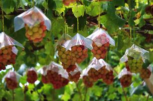 熟した大きな赤いブドウが生る山梨のブドウ畑の写真素材 [FYI03148157]