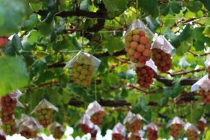 熟した大きな赤いブドウが生る山梨のブドウ畑の写真素材 [FYI03148158]
