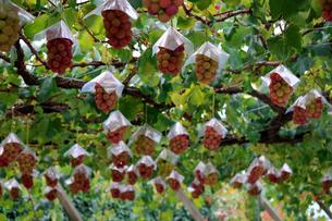 熟した大きな赤いブドウが生る山梨のブドウ畑の写真素材 [FYI03148159]