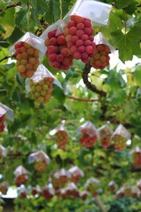 熟した大きな赤いブドウが生る山梨のブドウ畑の写真素材 [FYI03148160]