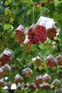 熟した大きな赤いブドウが生る山梨のブドウ畑の写真素材 [FYI03148161]