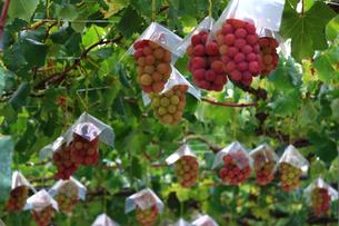 熟した大きな赤いブドウが生る山梨のブドウ畑の写真素材 [FYI03148162]