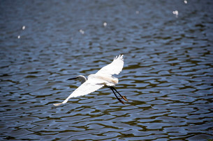 白鷺の低空飛行の写真素材 [FYI03148185]