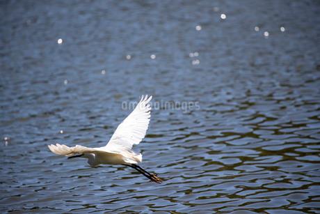 白鷺の低空飛行の写真素材 [FYI03148186]