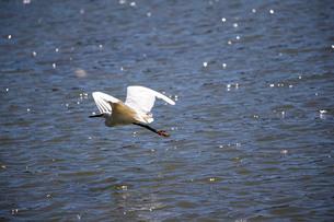 白鷺の低空飛行の写真素材 [FYI03148187]