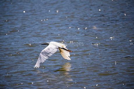 白鷺の低空飛行の写真素材 [FYI03148188]