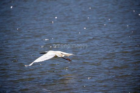 白鷺の低空飛行の写真素材 [FYI03148189]