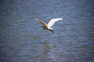 白鷺の低空飛行の写真素材 [FYI03148191]