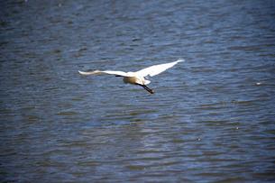 白鷺の低空飛行の写真素材 [FYI03148192]