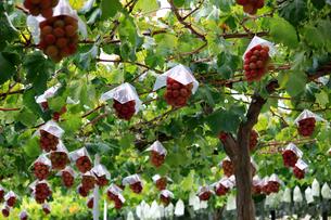 熟した大きな赤いブドウが生る山梨のブドウ畑の写真素材 [FYI03148202]