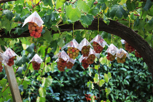 熟した大きな赤いブドウが生る山梨のブドウ畑の写真素材 [FYI03148203]
