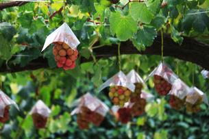 熟した大きな赤いブドウが生る山梨のブドウ畑の写真素材 [FYI03148204]