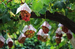 熟した大きな赤いブドウが生る山梨のブドウ畑の写真素材 [FYI03148205]