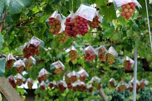 熟した大きな赤いブドウが生る山梨のブドウ畑の写真素材 [FYI03148206]