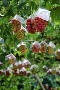 熟した大きな赤いブドウが生る山梨のブドウ畑の写真素材 [FYI03148207]
