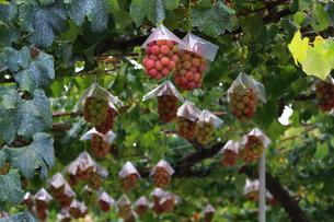 熟した大きな赤いブドウが生る山梨のブドウ畑の写真素材 [FYI03148208]