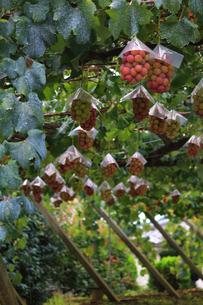 熟した大きな赤いブドウが生る山梨のブドウ畑の写真素材 [FYI03148209]