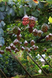 熟した大きな赤いブドウが生る山梨のブドウ畑の写真素材 [FYI03148210]