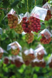 熟した大きな赤いブドウが生る山梨のブドウ畑の写真素材 [FYI03148213]