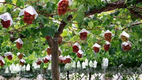 熟した大きな赤いブドウが生る山梨のブドウ畑の写真素材 [FYI03148222]