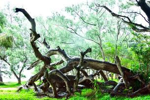 ニューカレドニア・イル・デ・パンのクトビーチ付近の木々がある林の中に集められた流木の写真素材 [FYI03148265]