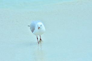 ニューカレドニア・イル・デ・パンのクトビーチの白い砂浜に立つ真っ赤なくちばしと足を持つカモメの写真素材 [FYI03148283]