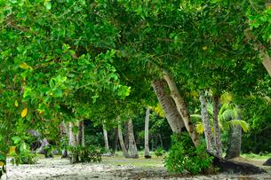 ニューカレドニア・イル・デ・パンのクトビーチ付近の林の中の木々の写真素材 [FYI03148287]