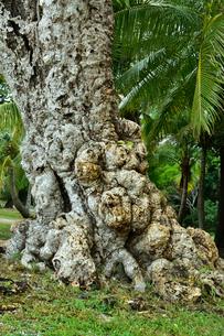 ニューカレドニア・イル・デ・パンのクトビーチ付近の林の中の木々の写真素材 [FYI03148292]