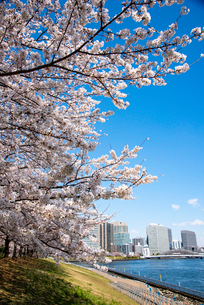 石川島公園満開の桜並木と晴海運河の写真素材 [FYI03148320]