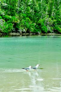 ニューカレドニア・イル・デ・パンのピッシンヌ・ナチュレル(隆起サンゴで外海と隔てられた天然のプールと言われる入江)を歩く二羽のカモメの写真素材 [FYI03148332]