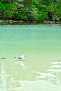 ニューカレドニア・イル・デ・パンのピッシンヌ・ナチュレル(隆起サンゴで外海と隔てられた天然のプールと言われる入江)を歩く一羽のカモメの写真素材 [FYI03148333]