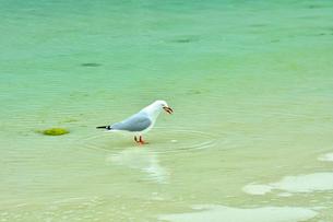 ニューカレドニア・イル・デ・パンのピッシンヌ・ナチュレル(隆起サンゴで外海と隔てられた天然のプールと言われる入江)を歩く一羽のカモメの写真素材 [FYI03148334]