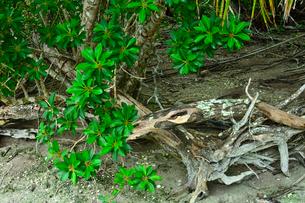 ニューカレドニア・イル・デ・パンのピッシンヌ・ナチュレル(隆起サンゴで外海と隔てられた天然のプールと言われる入江)の通り道にあるジャングルの倒木の写真素材 [FYI03148360]