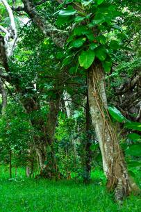 ニューカレドニア・イル・デ・パンのクト・ビーチ付近の蔦などが絡んだトロピカルな木のある林の写真素材 [FYI03148373]