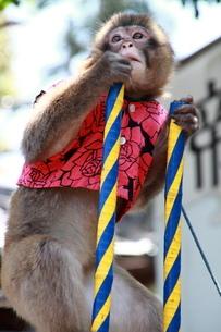 竹馬から高みの見物サルの写真素材 [FYI03148441]